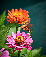 Clearwing Moth on a Zinnia Flower. Image taken with a Fuji X-H1 camera and 80 mm f/2.8 macro lens