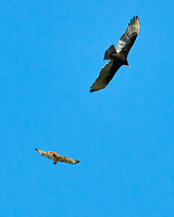 Red-tailed Hawk (Buteo jamaicensis) and Turkey Vulture (Cathartes aura). St. Petersburg, Florida. Image taken with a Nikon D300 camera and 200 mm f/2.0 VR lens.