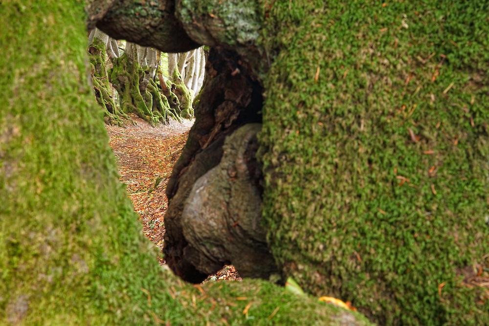 Oak trees,L'allée des Géants, Ces arbres de 400ans,  Bois Noirs, Saint Nicolas de Biefs, Montagne Bourbonnaise, Auvergne, France