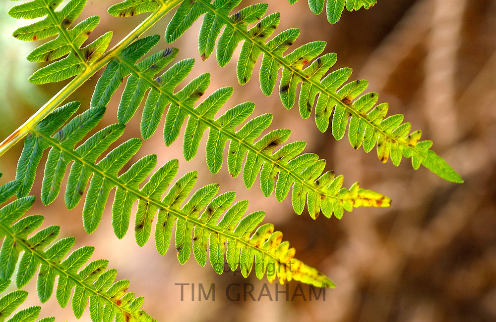 Woodland fern in Oxfordshire, England