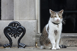 © Licensed to London News Pictures . 11/05/2015 . London , UK . Larry the cat outside 10 Downing Street this morning (11th May 2015) . Photo credit : Joel Goodman/LNP