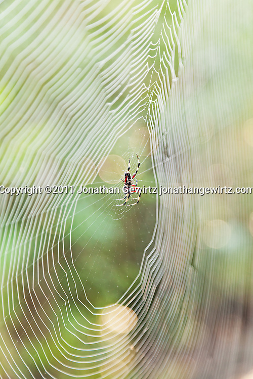 A Nephila clavipes orb-weaver spider in its web in the Pine Land section of Everglades National Park, Florida. WATERMARKS WILL NOT APPEAR ON PRINTS OR LICENSED IMAGES.