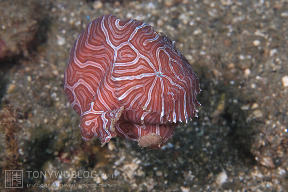 Psychedelic frogfish (Histiophryne psychedelica) swimming over the rubble in shallow water in Ambon, Indonesia