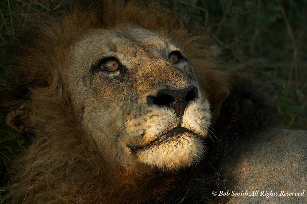 Male lion laying in morning light at Chitabe Wilderness Camp, Botswana.