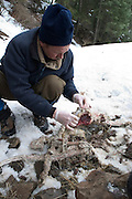 Oregon Division Of Fish and Wildlife biologist Scott Findholdt inspects the remains of a cougar in the Blue Mountains of NE Oregon. The animal is missing its paws, head and skin, suggesting that it was taken by a hunter. Records for the area show no cougar kills for the time making this a poached animal.