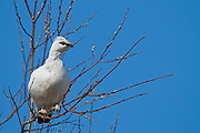 The Rock Ptarmigan (Lagopus muta) is a medium-sized (31-35 cm or 12-14 in.) gamebird in the grouse family. It is known simply as Ptarmigan in Europe and in North America it is called Snow Chicken or Partridge