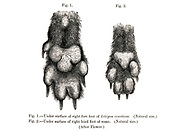 "Under surface of fore paw (Left) and hind paw (Right) of Bush Dog Icticyon venaticus From the Book Dogs, Jackals, Wolves and Foxes A Monograph of The Canidae [from Latin, canis, ""dog"") is a biological family of dog-like carnivorans. A member of this family is called a canid] By George Mivart, F.R.S. with woodcuts and 45 coloured plates drawn from nature by J. G. Keulemans and Hand-Coloured. Published by R. H. Porter, London, 1890"