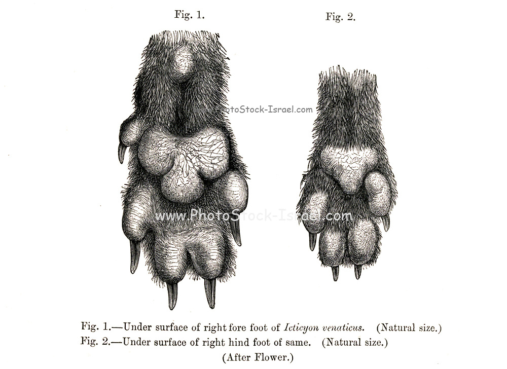 """Under surface of fore paw (Left) and hind paw (Right) of Bush Dog Icticyon venaticus From the Book Dogs, Jackals, Wolves and Foxes A Monograph of The Canidae [from Latin, canis, """"dog"""") is a biological family of dog-like carnivorans. A member of this family is called a canid] By George Mivart, F.R.S. with woodcuts and 45 coloured plates drawn from nature by J. G. Keulemans and Hand-Coloured. Published by R. H. Porter, London, 1890"""