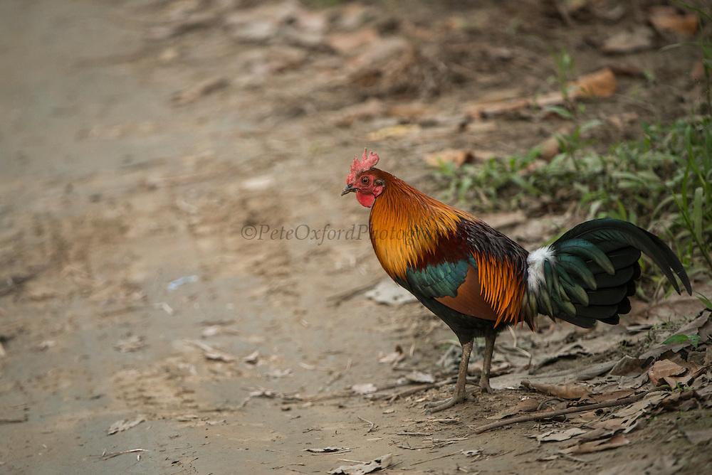 Red junglefowl (Gallus gallus)<br /> Kaziranga National Park<br /> Assam<br /> North East India<br /> UNESCO World Heritage Site<br /> Ancestor of domestic chicken