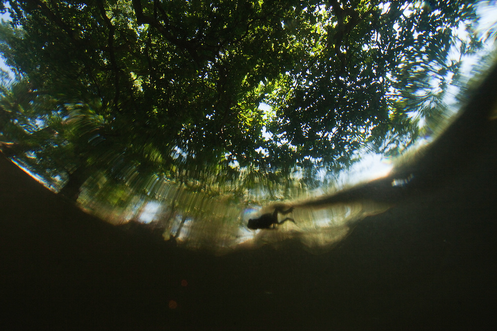 Young green toad (Pseudepidalea viridis) swimming on a pool' s surface under massive oak trees in ancient hardwoods, Gornje Podunavlje Special Nature Reserve, Serbia