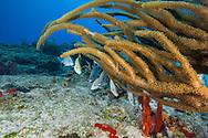 Dog snapper - Vivaneau dents de chien (Lutjanus jocu) and Giant slit pore sea rod - Gorgone arborescente (Plexaurella nutans), Cozumel, Yucatan peninsula, Mexico.