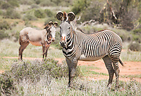 A pair of Grevy's Zebra's photographed on Loisaba Conservancy, Kenya. Only 2,000 of these incredible creatures still exist.