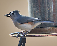 Tufted Titmouse. Image taken with a Nikon D5 camera and 600 mm f/4 VR telephoto lens (ISO 100, 600 mm,  f/5.6, 1/640 sec).