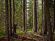 light enters the sparse understory of a coniferous forest of Western Hemlock and Douglas Fir in the Tahoma State Forest of Washington, USA.