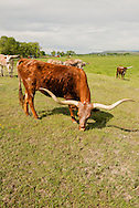 Longhorn cattle, North of Big Timber, Montana