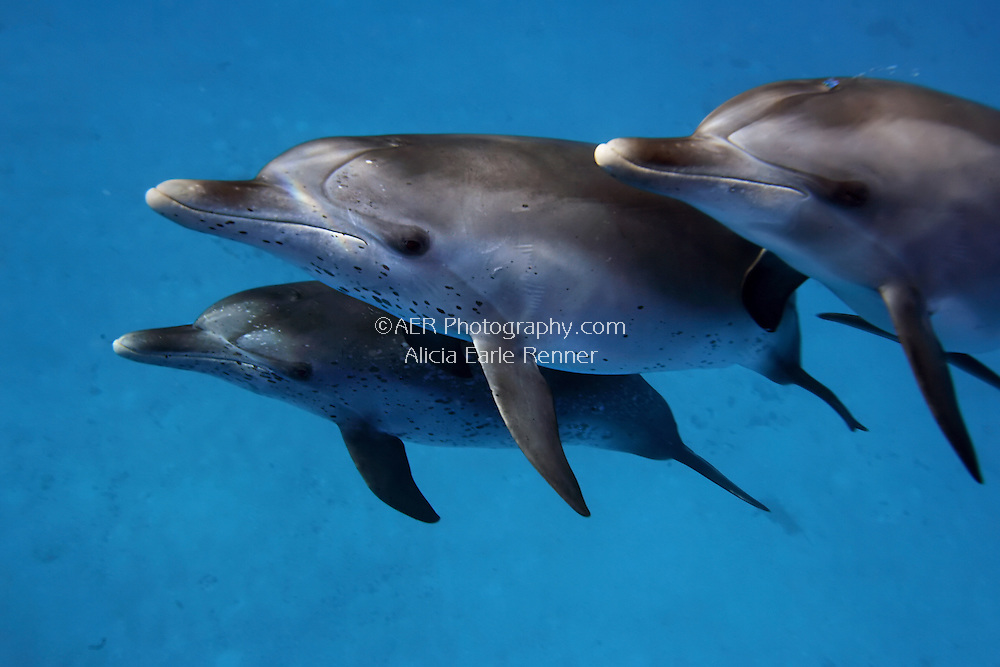 Spotted Dolphins group in pod