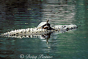 slider turtle, Trachemys scripta, basking in sun<br /> on back of American or estuarine crocodile, <br /> Crocodylus acutus (c), also basking at surface, Florida