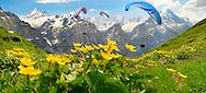 Paragliders over meadows of Alpine Marsh Marigolds ( Caltha Palustris ) . Faulhorn Mountain , Bernese Alps . Switzerland