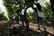 Israel, Northern Negev, man pruning the vines in the vineyard