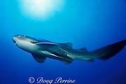 zebra shark or leopard shark, Stegostoma fasciatum <br /> ( = varium ), Flat Rock, N . Stradbroke Island, near Brisbane, Queensland, Australia ( Pacific )