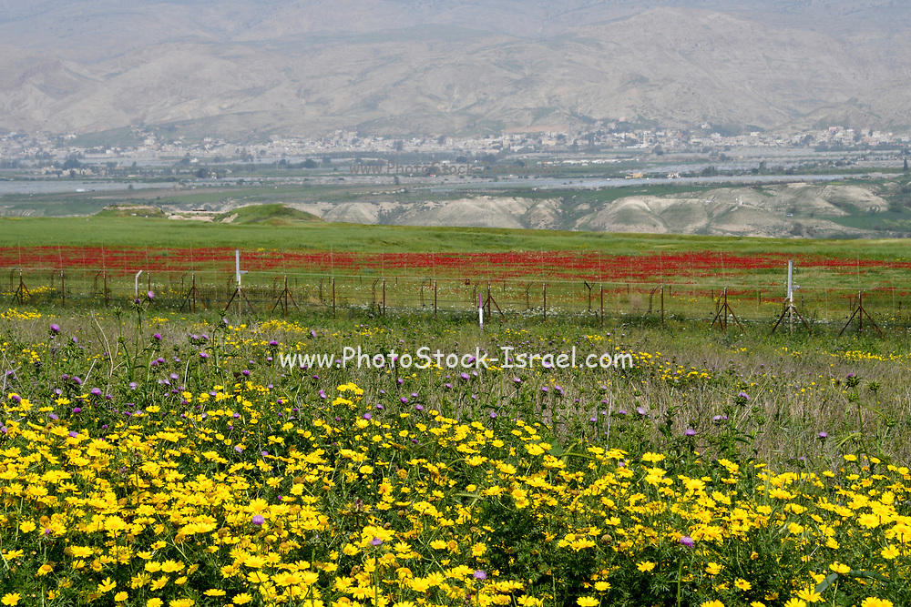 After a rare rainy season in the Negev Desert, Israel, an abundance of wildflowers sprout out and bloom. Photographed in the Jordan Rift Valley, Israel in March