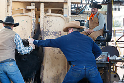 Cowboys working bison in head gate during bison roundup, Ladder Ranch, west of Truth or Consequences, New Mexico, USA.