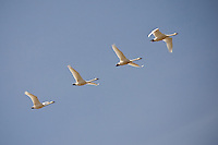 Migrating Tundra Swans east of Calgary and south of Langdon near Highway 22X.