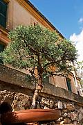Domaine Borie la Vitarèle Causses et Veyran St Chinian. Languedoc. Bonzai trees. France. Europe.