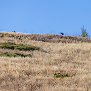A coyote prowls for prey in the hills of the Santa Monica Mountains near the Victory Trailhead in West Hills, California.