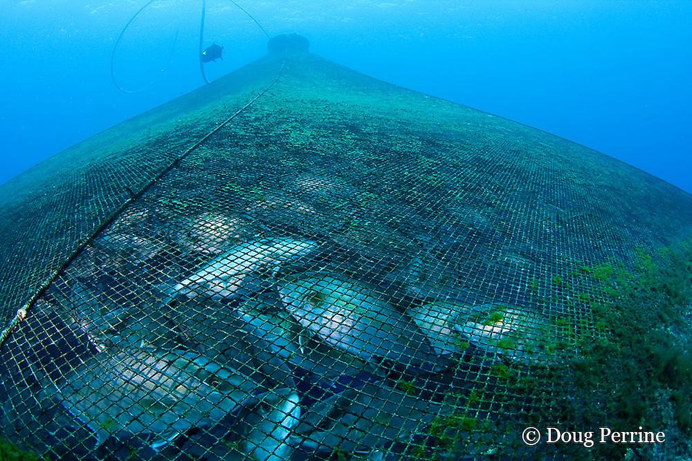 Kona kampachi or almaco jacks, Seriola rivoliana, in Kona Blue Water Farms open ocean aquaculture pen, Keahole, Kona Coast, Hawaii Island ( the Big Island ) Hawaii, U.S.A. ( Central Pacific Ocean )
