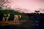 Feral donkeys introduced by sailers in the 19th century, 27th May 1997, on Ascension, a small area of approximately 88 km² isolated volcanic island in the equatorial waters of the South Atlantic Ocean, roughly midway between the horn of South America and Africa. It is governed as part of the British Overseas Territory of Saint Helena, Ascension and Tristan da Cunha. Organised settlement of Ascension Island began in 1815, when the British garrisoned it as a precaution after imprisoning Napoleon I on Saint Helena. In January 2016 the UK Government announced that an area around Ascension Island was to become a huge marine reserve, to protect its varied and unique ecosystem, including some of the largest marlin in the world, large populations of green turtle, and the islands own species of frigate bird. With an area of 234,291 square kilometres 90,460 sq mi, slightly more than half of the reserve will be closed to fishing.