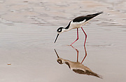 Black-necked Stilt<br /> Himantopus himantopus<br /> Floreana Island, GALAPAGOS ISLANDS. ECUADOR.  South America