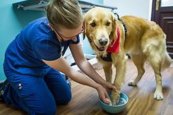 A dog has his paw bathed by a nurse at Rushcliffe Veterinary Centre, West Bridgford, Nottingham, UK.<br /> Photo: Ed Maynard<br /> 07976 239803<br /> www.edmaynard.com