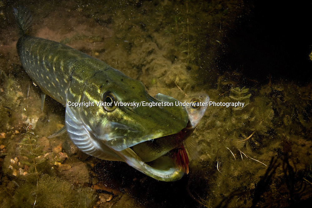 Northern Pike (juvenile eating a small yellow perch)<br /> <br /> Viktor Vrbovsky/Engbretson Underwater Photography