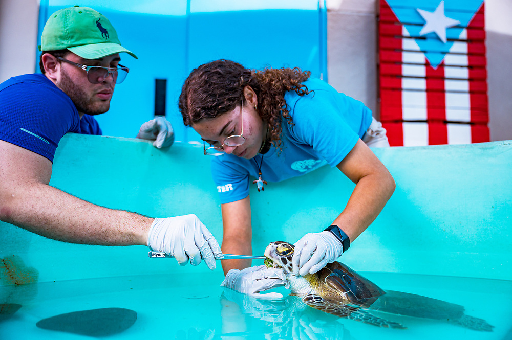 Researchers Kevin Perez and Laura Soler feed a green sea turtle with cancer at the Manatee Conservation Center in Puerto Rico. Image release available.