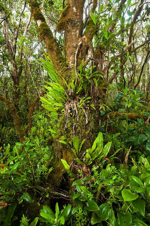Tree covered in epiphytes, especially native Elaphoglossum ferns (Elaphoglossum sp.), along the Pihea Trail, Kokee State Park, Kauai, Hawaii.