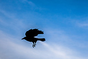 A crow is flying close to the shore of river Main in Frankfurt.