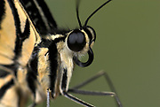 Lime Swallowtail Butterfly, Papilio demoleus, Asia, colourful, yellow, black, probiscus, curled tongue, face, compound eyes
