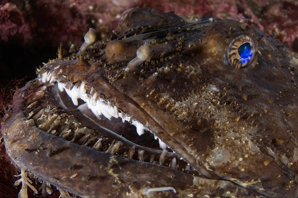 Monkfish, Anglerfish, Lophius piscatorius<br /> Atlantic marine life, Saltstraumen, Bodö, Norway