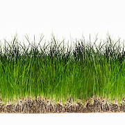 Strip of grass, Seeds, Roots, No people, Green, White background