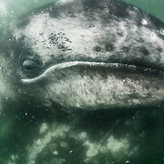 Gray whale calf (Eschrichtius robustus) resting on top of its mother in the murky green waters of the gray whale calving and nursing grounds in Baja California, Mexico.