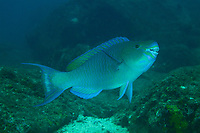 "Parrotfish species<br /><br />Canales de Afuera Islands<br />Coiba National Park<br />Panama<br /><br />""buffet"" dive site"