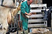 Nederland, Persingen, 26-6-2011Bij een koe worden de hoeven gekapt. Dit voorkomt dat ze scheef op de poten gaan staan.Foto: Flip Franssen/Hollandse Hoogte