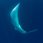 Oceanic manta ray ( Manta birostris ), Honda Bay, Palawan, the Philippines Oceanic manta ray (Manta birostris) barrel roll feeding. Honda Bay, Palawan