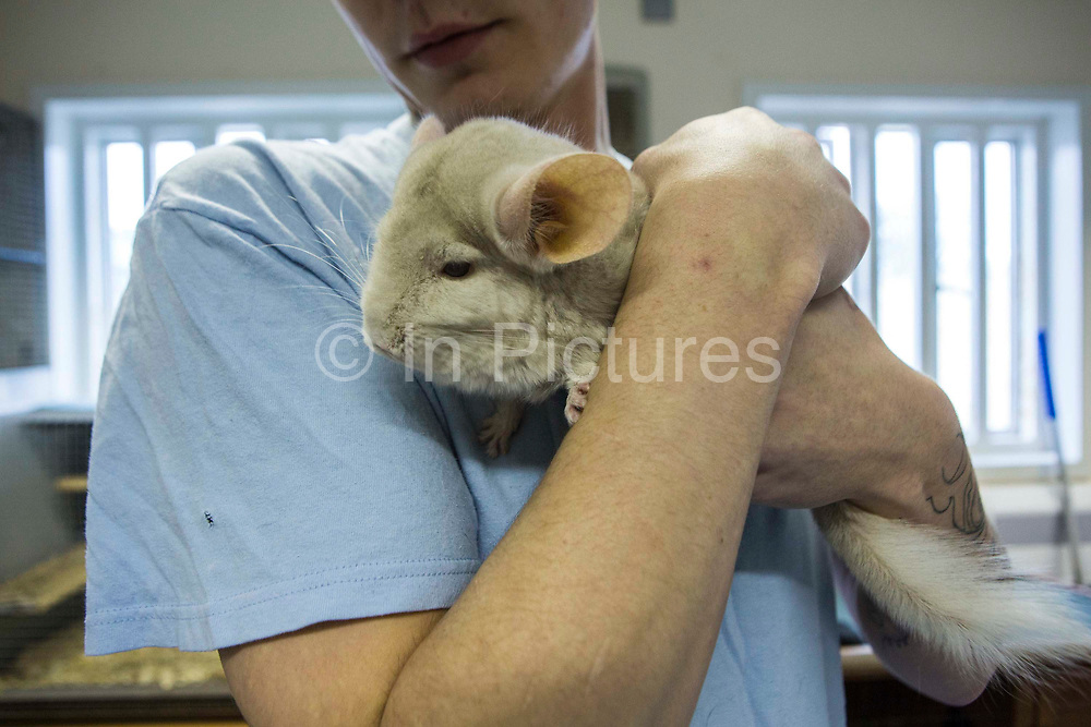 A prisoner holding a Chinchilla. Pet therapy, used as a natural holistic therapy for prisoners. Beaufort House, a skill development unit for enhanced prisoners. Part of HMP/YOI Portland, a resettlement prison with a capacity for 530 prisoners.Dorset, United Kingdom.