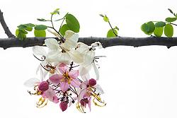 Cassia Bakeriana Pink Shower Wishing Tree#6