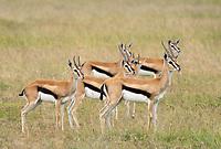 Six Thomson's Gazelles, Eudorcas thomsonii, in Maasai Mara National Reserve, Kenya