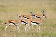 Thomson's Gazelle, Eudorcas thomsonii