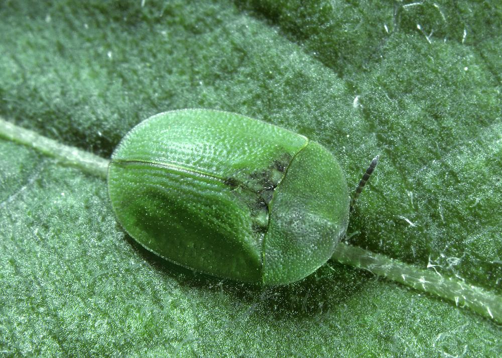 Tortoise Beetle - Cassida rubiginosa