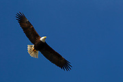An adult bald eagle (Haliaeetus leucocephalus) soars against the solid blue sky over Drayton Harbor near Blaine, Washington.